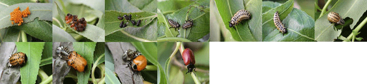 Chrysomela populi