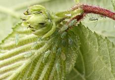 Corylobium avellanae