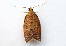 Clepsis consimilana