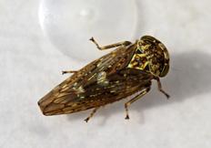 Acericerus vittifrons