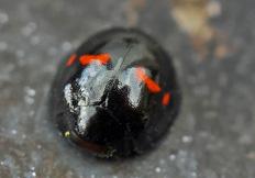 Chilocorus bipustulatus