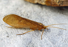Stenophylax permistus