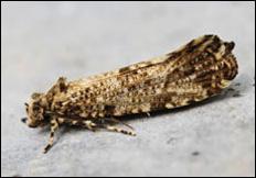 Morophaga choragella