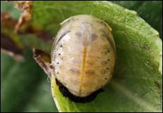 Plagiodera versicolora