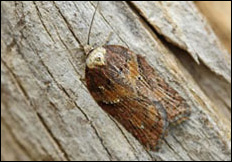 Acleris hastiana