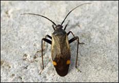Adelphocoris seticornis
