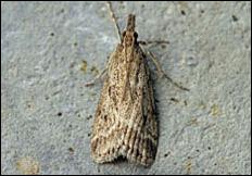 Eudonia pallida