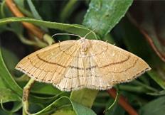 Cyclophora linearia