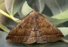 Polypogon plumigeralis