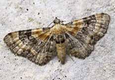 Eupithecia linariata