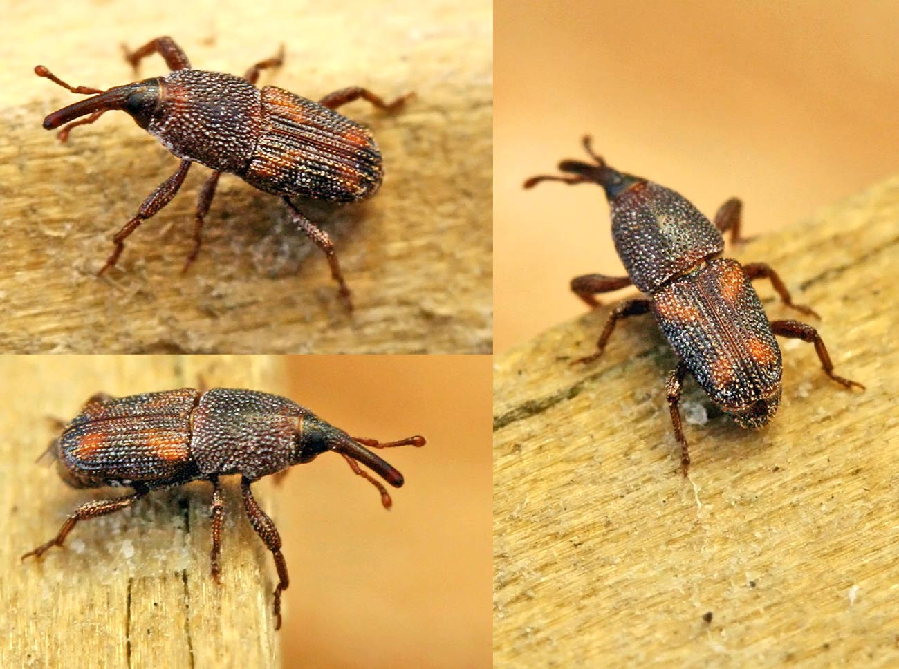 Sitophilus oryzae 0714 - Charancon du riz dangereux ...