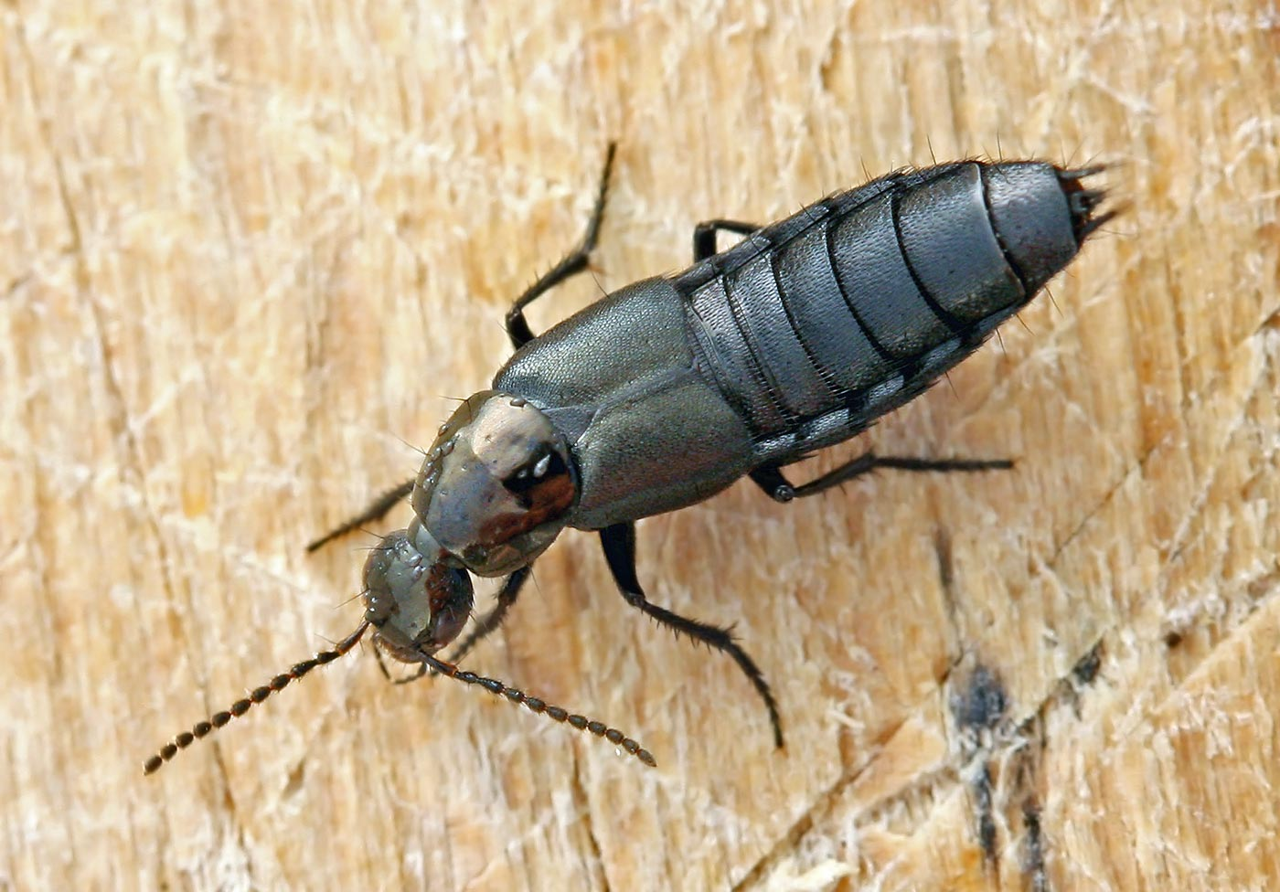 Philonthus decorus
