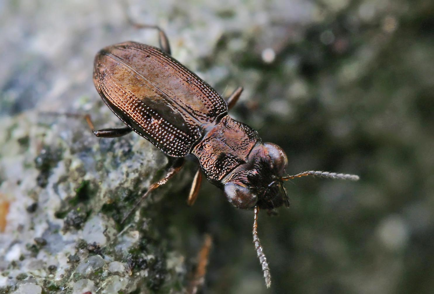 Notiophilus sp.