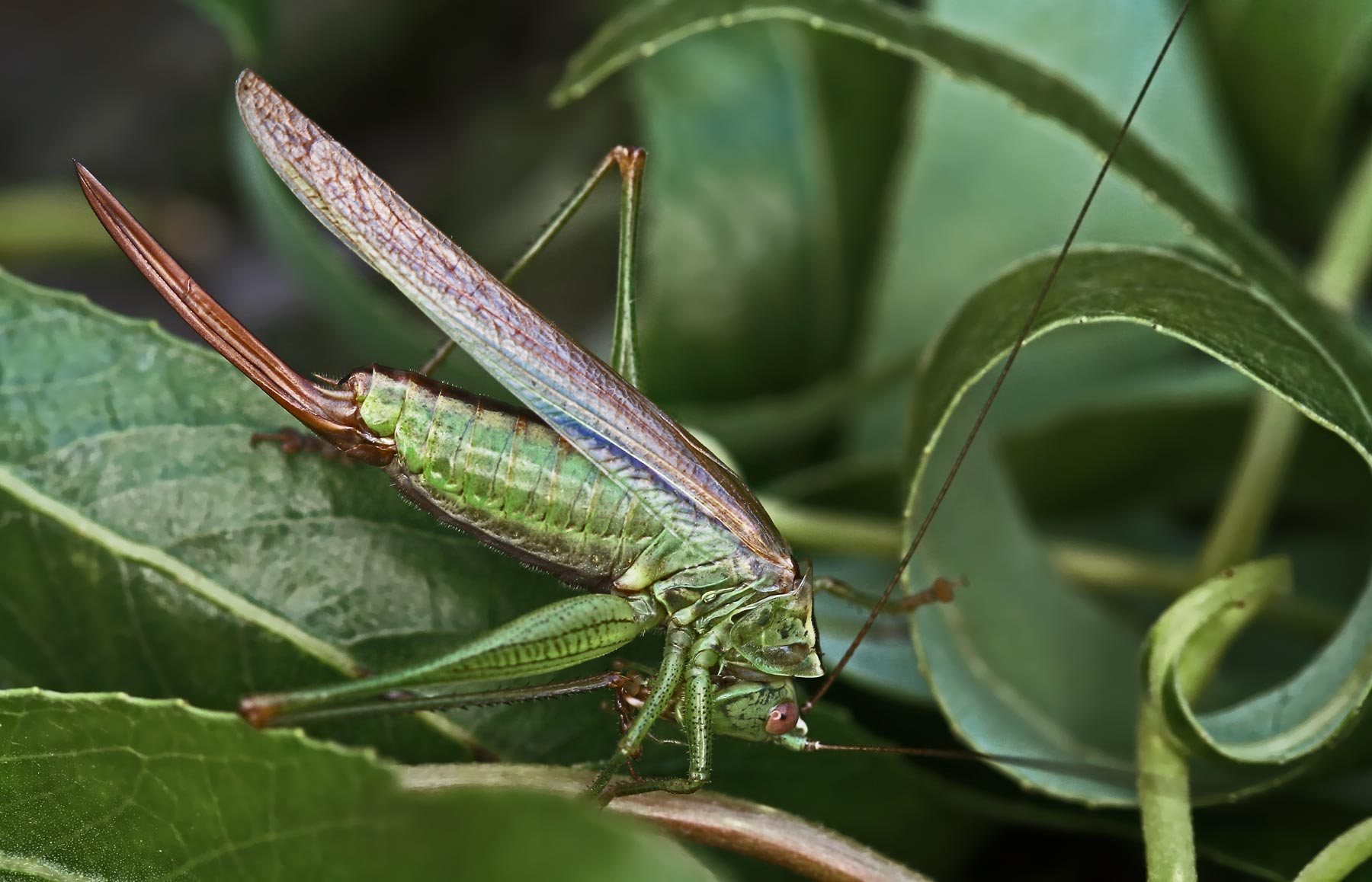 Conocephalus discolor