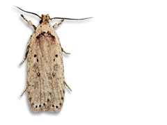 planche 3524 - Agonopterix yeatiana